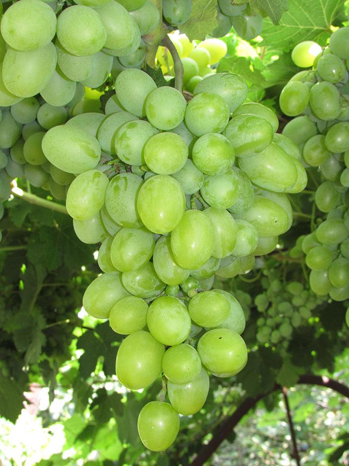 Виноград подарок запорожью описание и фото 508