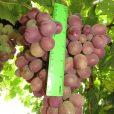 Купить виноград «Аристократ»»