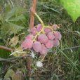 Купить виноград «Аарон»